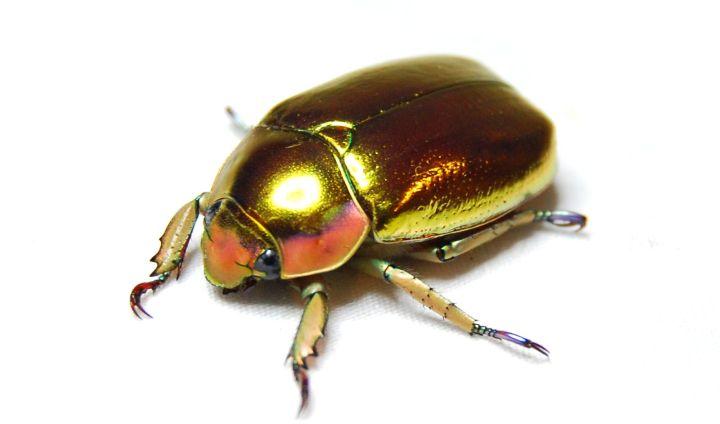 Jewel-scarab-beetle